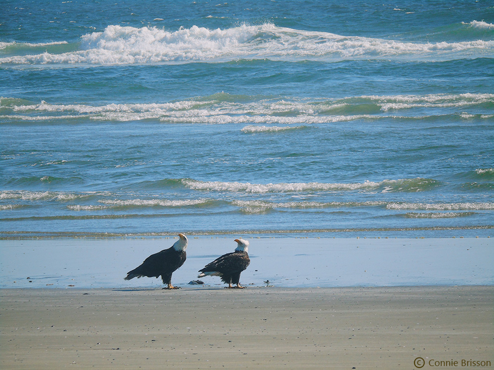 Two Eagles at Combers Beach
